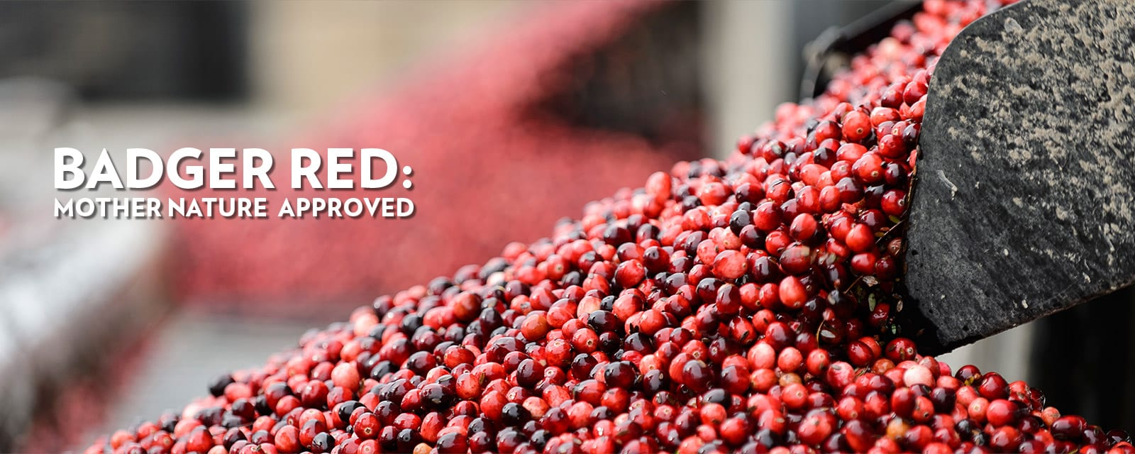 Close-up of a big scoopful of cranberries with the words badger red - mother nature approved